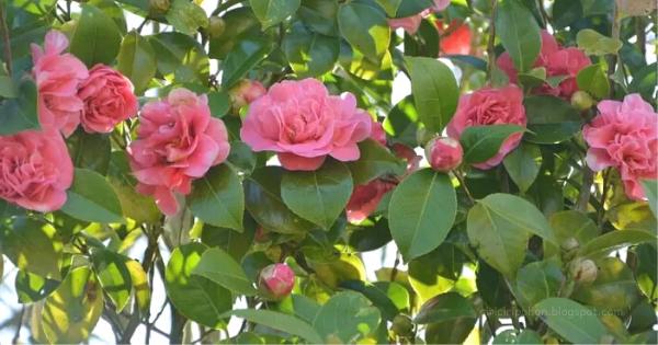 Ciri Ciri Pohon Bunga Kamelia Di Alam Liar - Ciriciripohon.com