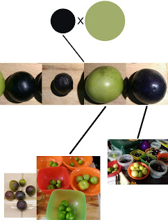 At top are a small dark purple and large green circle, representing the original varieties I crossed. From the dark circle, a black line goes down to a second row consisting of four tomatillo fruit pictures. (From left to right: medium purple, small purple, large green, & medium purple.) Black lines are drawn from beneath the right two fruit downwards to photos. Left line goes to a photo of 5 bowls of green fruit, with a photo of pale purple fruit to the left. The right line goes to a photo of 10 bowls of fruit with varying colors of purple and green.