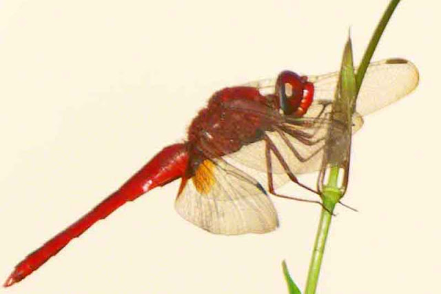dragonfly, Okinawa, red