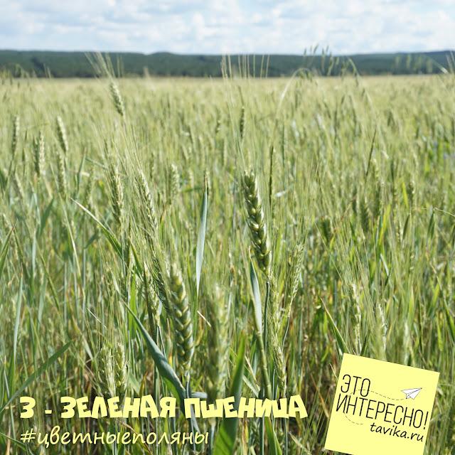 пшеничное поле, Крым
