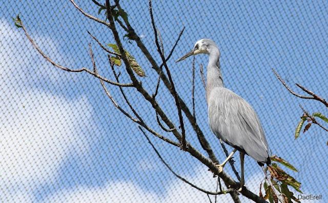 Aigrette à face blanche, Parc des Oiseaux de Villars-les-Dombes