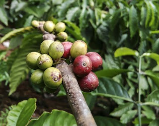 How to Use Green Coffee Bean Extract for Weight Loss