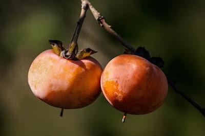 wild persimmon