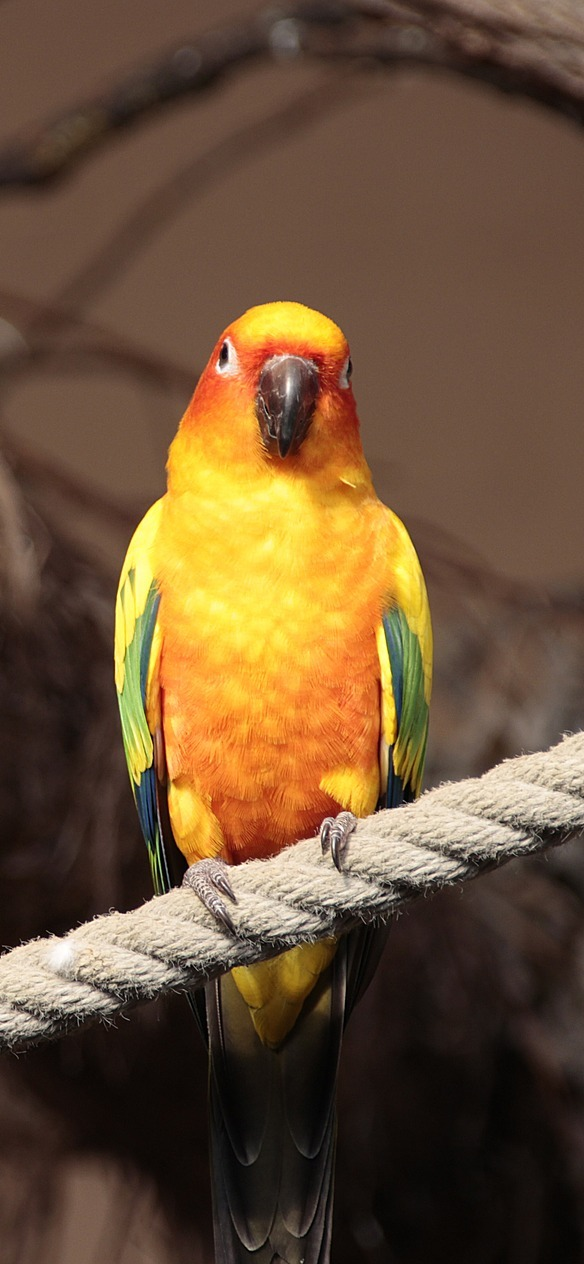 A colorful sun parakeet.