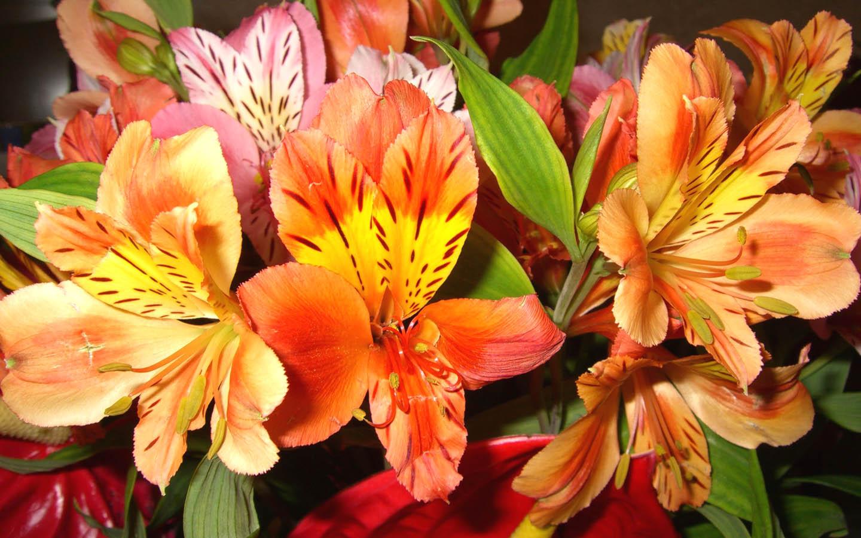 Alstroemeria - The Lily of the Incas   kinds of ornamental ...