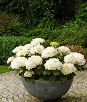 Hydrangeas Hamptons Garden