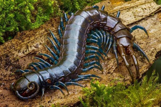 Centopeia gigante amazônica
