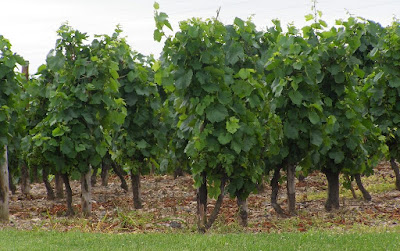 Cep de vigne à Marcilly