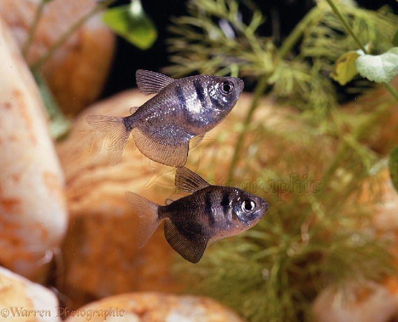 sifat ikan black tetra