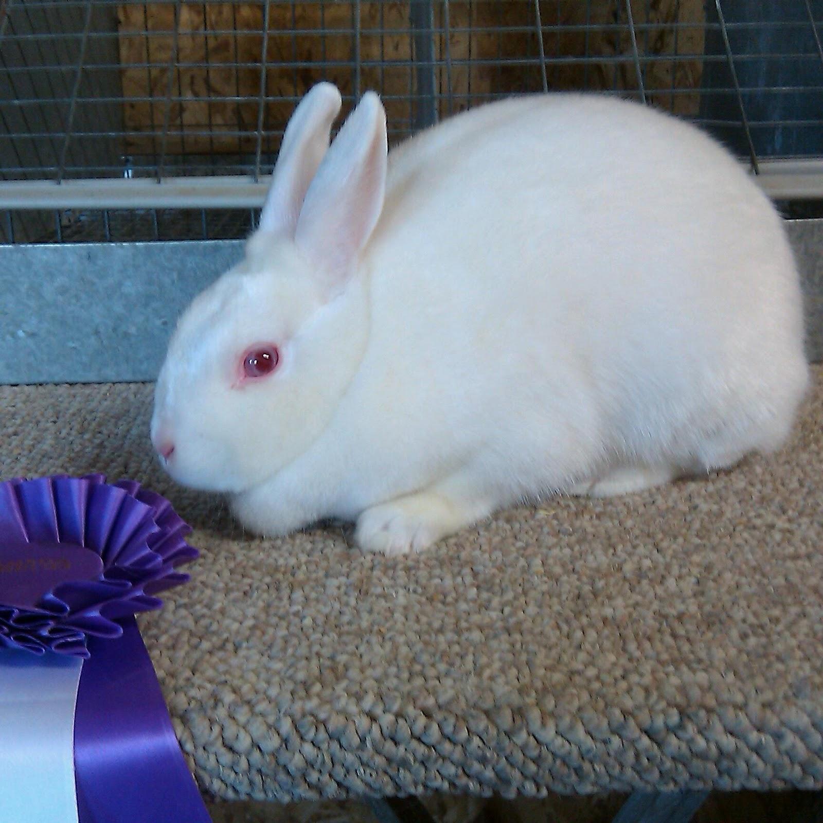 Magee Family Farm Showing Rabbits At Alameda County Fair