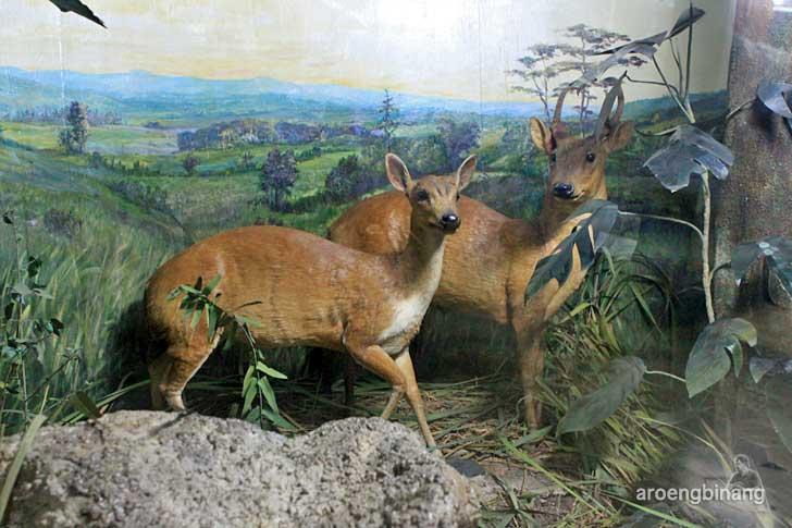 kijang museum zoologi bogor