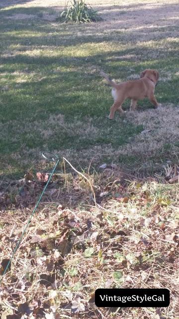 Beagle German Shepherd playing outside