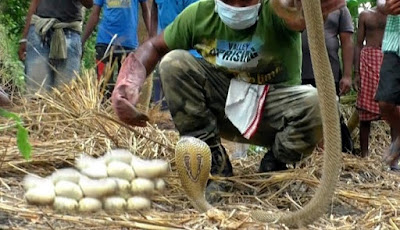 Gambar ular kobra bertelur di jerami