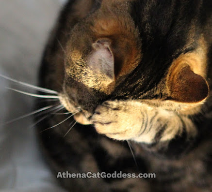tabby cat wiping face with paw