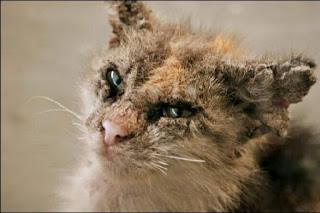 Cara Mengatasi Kucing Terkena Penyakit Jamur