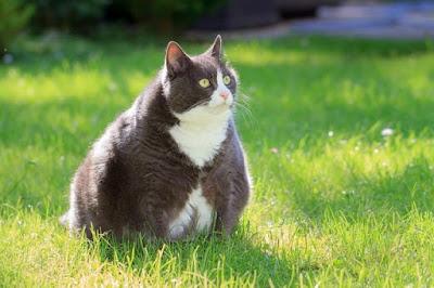 Penyakit pada Kucing Kegemukan