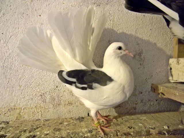 gołębia, hodowla, ptaki