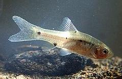 h sejenis ikan kecil anggota suku Cyprinidae anak Kabar Terbaru- IKAN WADER BINTIK DUA