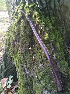 Różdżka z drewna sosny, Pine Wood Wand