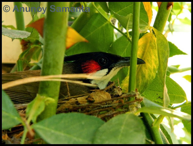 Lady Bulbul hatching inside one of our Rose Shrubs