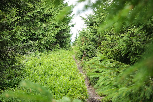 A narrow path among trees, grass and ferns