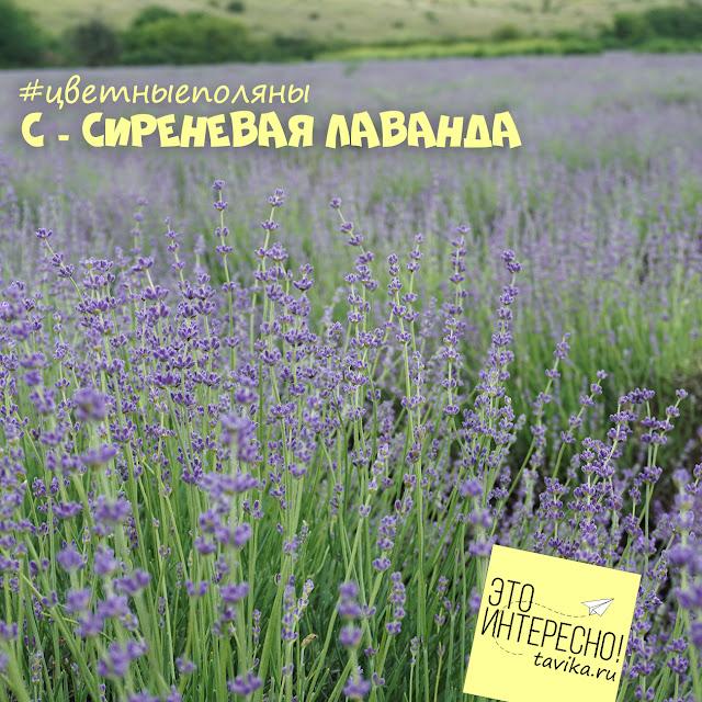 Поля лаванды, Крым
