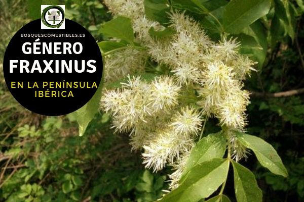Lista de Especies del Género Fraxinus, Fresno, Familia Oleaceae en la Península Ibérica