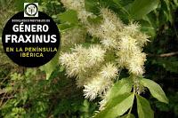 El género Fraxinus, árboles caducifolios de tamaño medio que suelen medir hasta 15 m. de altura