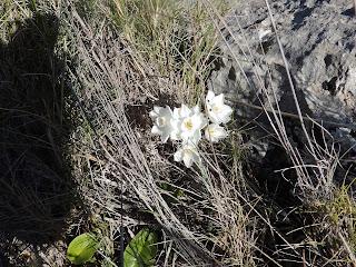 Narcisos Sierra de Estepa