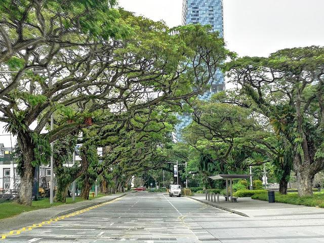 Connaught Drive rain trees