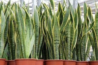 Snake,plant,tree,nature,snake plant,Arightguide,health,tips,tricks