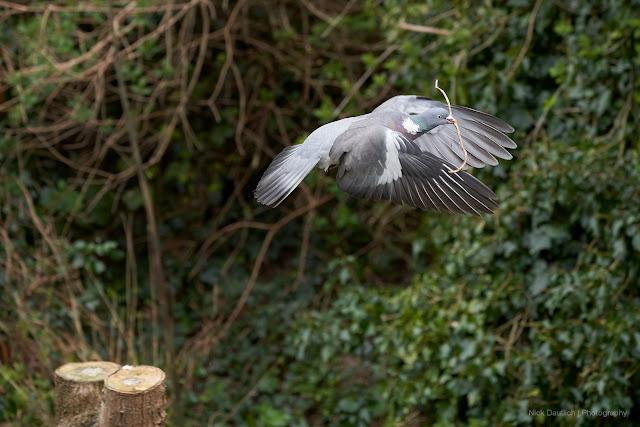 Pigeon flying in garden. 166mm. 1/500th sec. ISO 1250. f/5.6