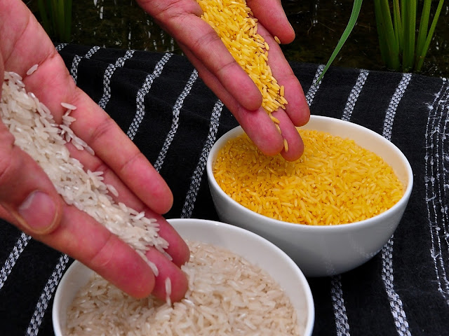 Golden Rice vs Riso Classico