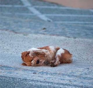 Después de más de una hora nadie le echó  al perrito nada de comer y se desespera,  se tapa los ojos. Al día siguiente fuimos  a buscarlo para intentar llevarnoslo,  no pudimos porque ya no estaba,  no sabemos que le pasó, ojalá no se  lo llevara la perrera para matarlo.
