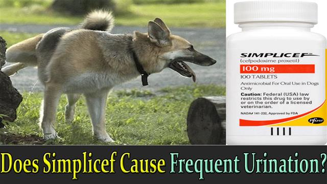 how-does-simplicef-cause-frquent-urination-in-dogs