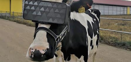 Vacas estão usando oculos VR na Russia