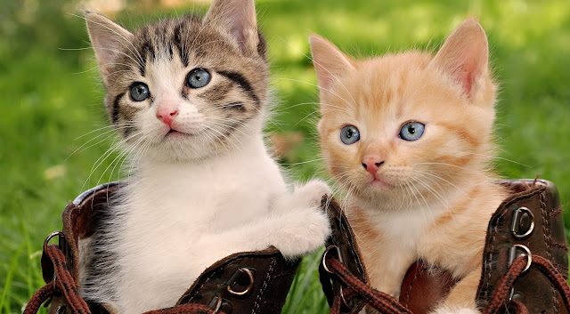 National Cat day , Things to know about the day of your favorite animal?