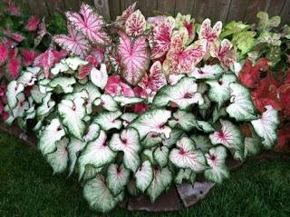 Cara Menanam Bunga Keladi Agar Tumbuh Subur Dan Cara Penjagaan