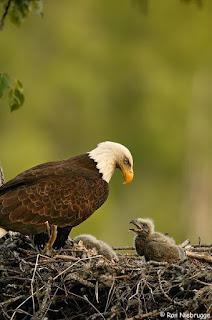 El pichón de águila
