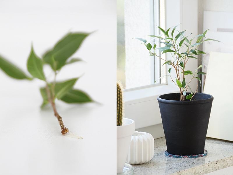 DIY: Birkenfeige/ Ficus Natasja aus Zweig ziehen - Pflegeleichte, dekorative Zimmerpflanze mit Steckling im Wasser selberziehen und pflegen