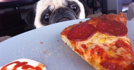 Pug Vs. Pizza