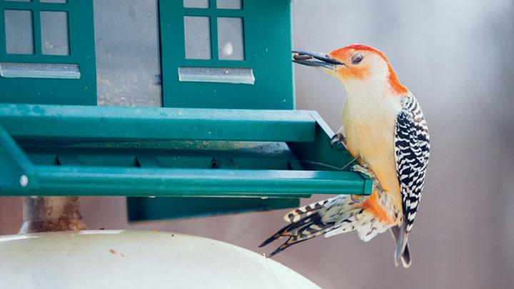 bird-house-osrs