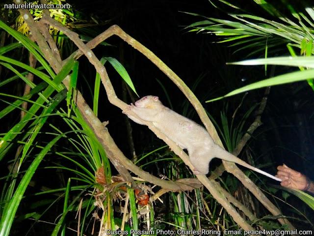 Cuscus possum in Susnguakti forest