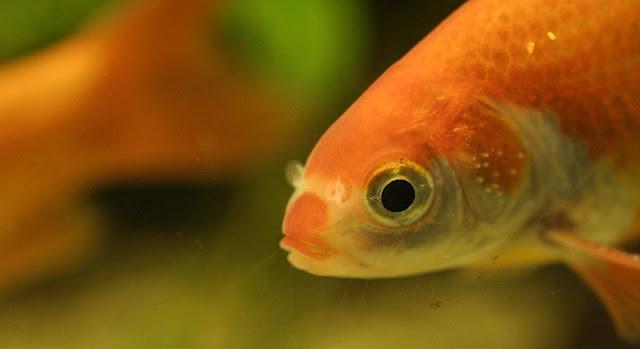 Cara Mengobati Penyakit White Spot Pada Ikan Hias