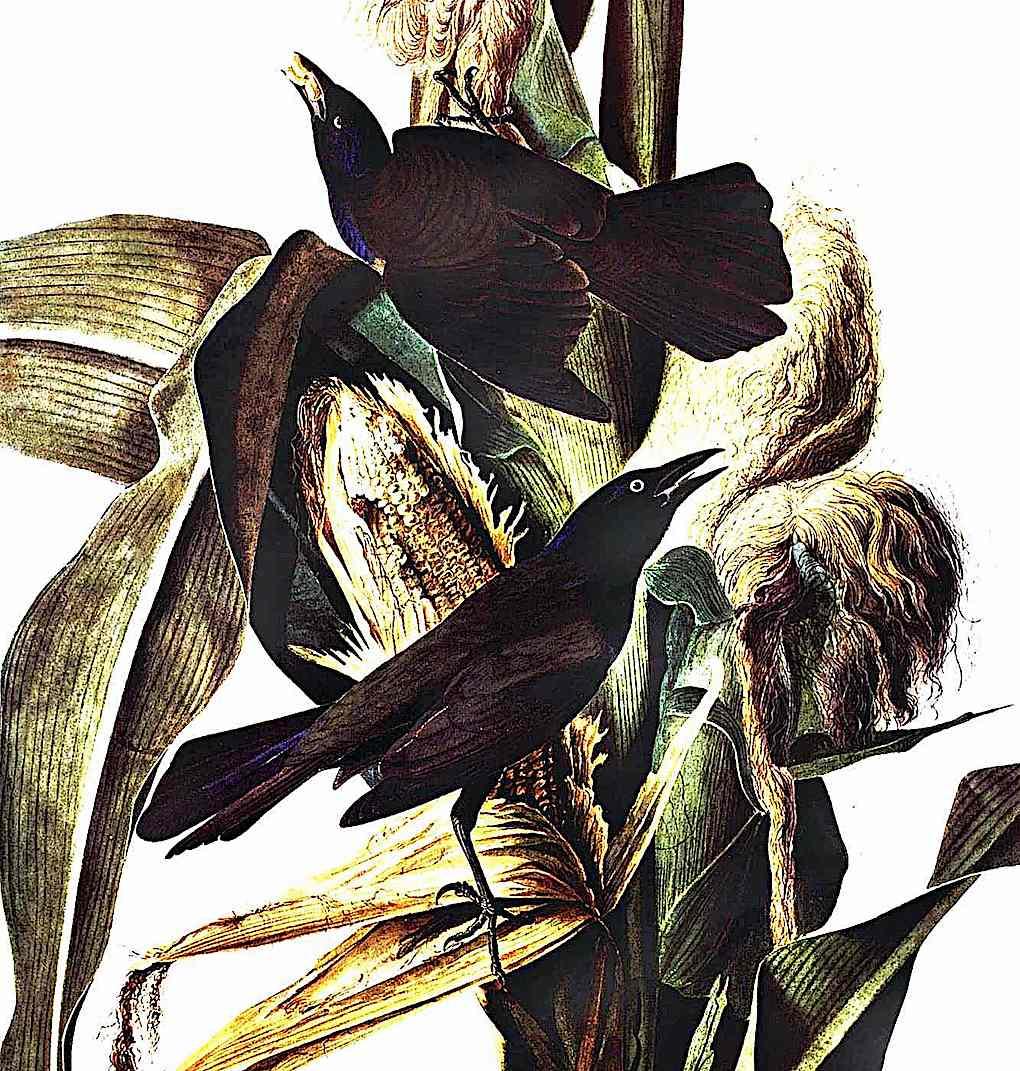 a John James Audubon color illustration of birds eating corn on stalks