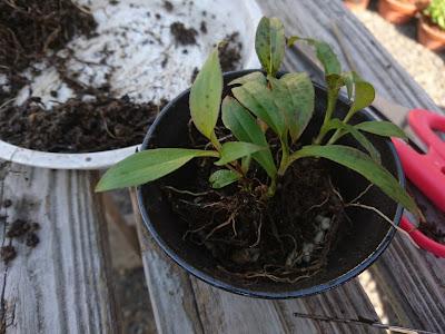 陶器の鉢 植え付け