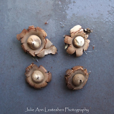 Earthstar Flower Shaped Fungus