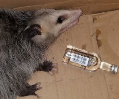 possum breaks into liquor store florida