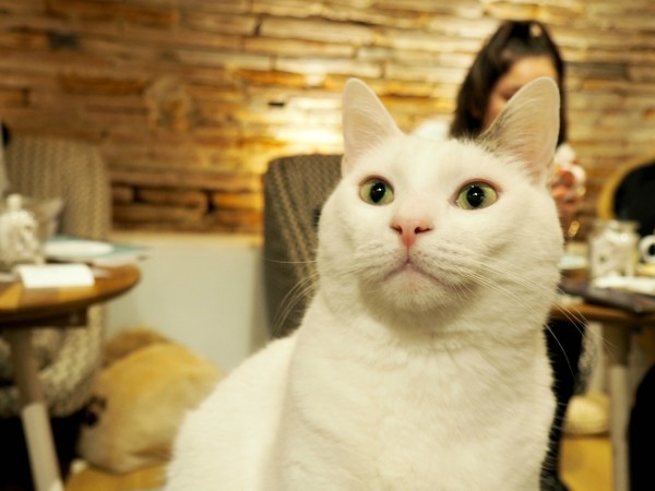 toulouse cat café