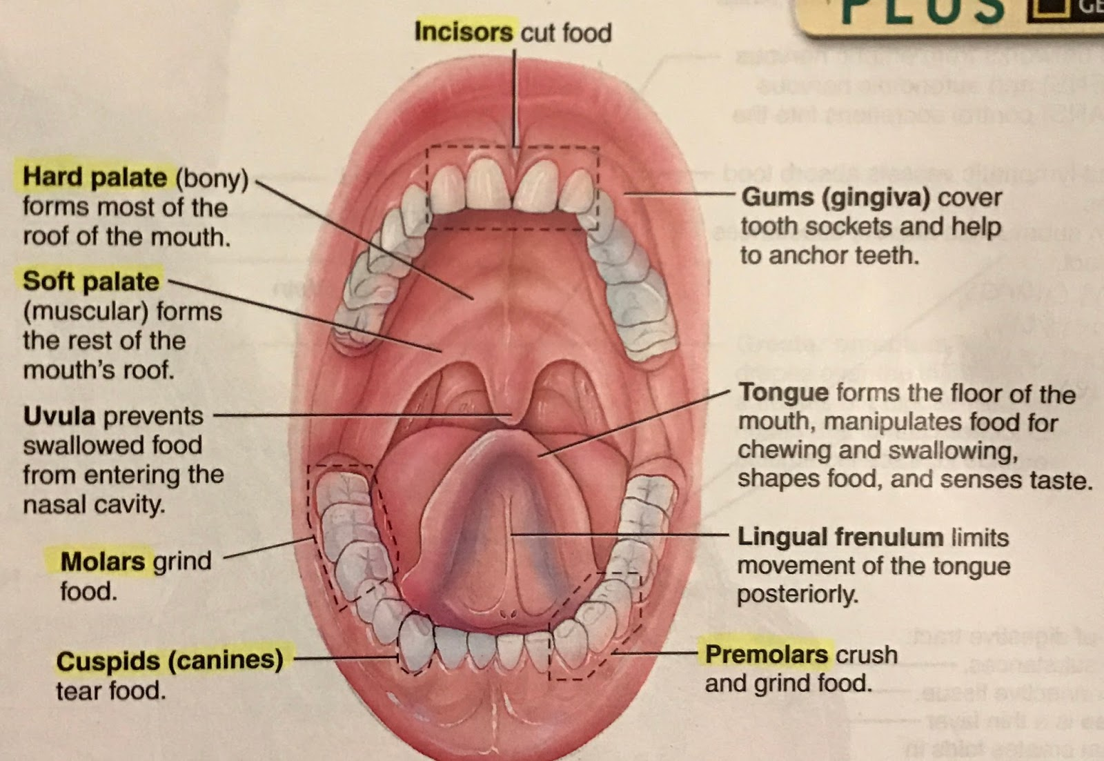 Nice Anatomy Of Floor Of Mouth Picture Collection - Human Anatomy ...